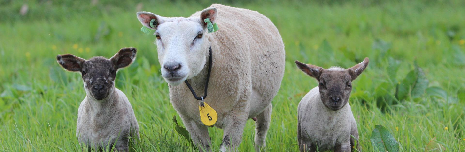 Schapen, geiten en alpaca's